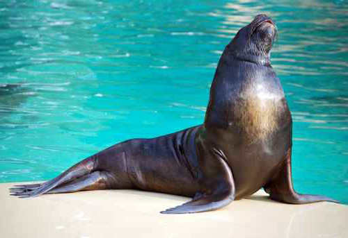 asad صور اسد البحر    Photo sea lion