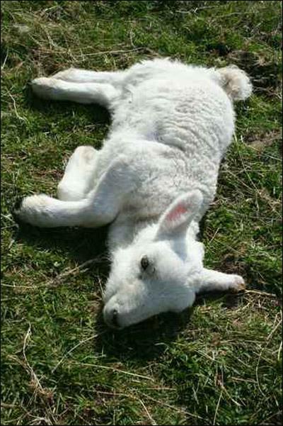 صورة رقم 1 - الشرطة تبحث عن رجل مارس النوع  مع خروف.. وهرب!