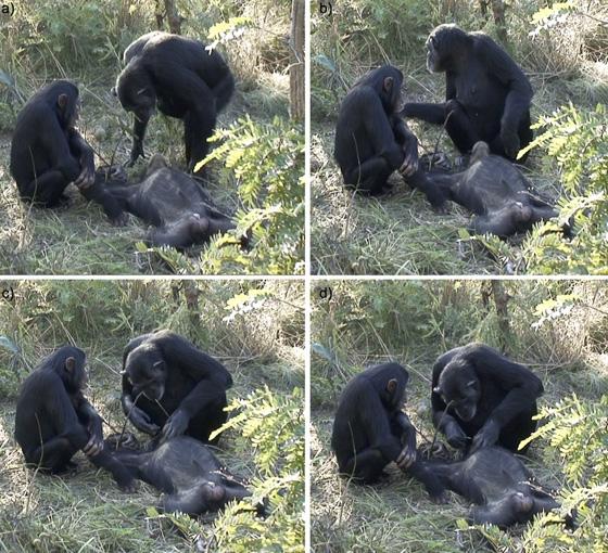 صورة رقم 1 - فيديو مذهل.. أنثى شامبنزي تنظف أسنان صغيرها المتوفى