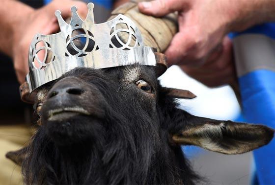 تتويج جدي ملكا لبلدة ريفية صغيرة في ايرلندا صورة رقم 3