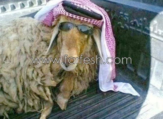 صورة رقم 17 - صور مضحكة: 32 كاريكاتير خروف العيد، وكل عام وأنتم بخير..