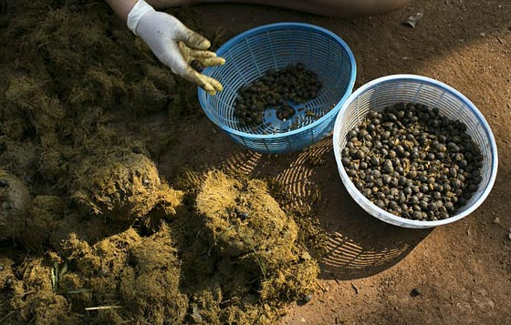 صورة رقم 3 - 1100 دولار للكيلو.. القهوة الأغلى بالعالم مصنوعة من براز الفيلة! فيديو