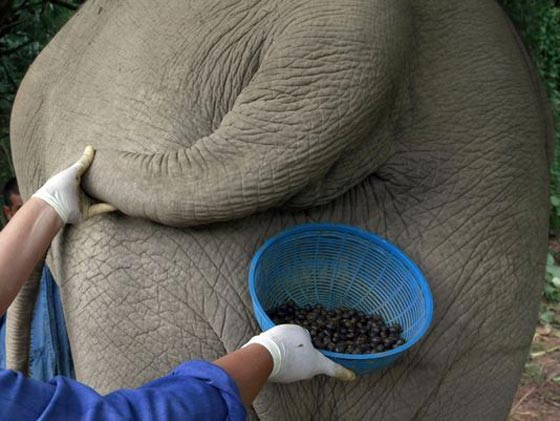 صورة رقم 1 - 1100 دولار للكيلو.. القهوة الأغلى بالعالم مصنوعة من براز الفيلة! فيديو