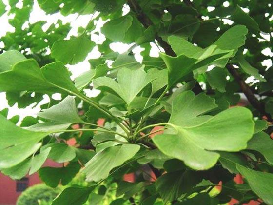 صورة رقم 1 - 3 اعشاب تحمي الدماغ  وتحسن الصحة العقلية