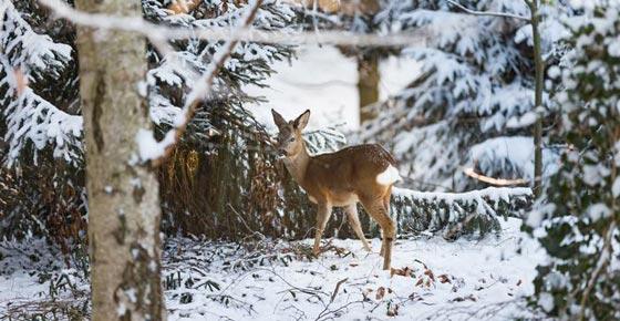 حيل وأسرار الحيوانات والطيور لمواجهة برد الشتاء القارس صورة رقم 9