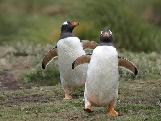 فيديو طريف:  سيلفي ظريف لبطريقان في القارة القطبية الجنوبية صورة رقم 3