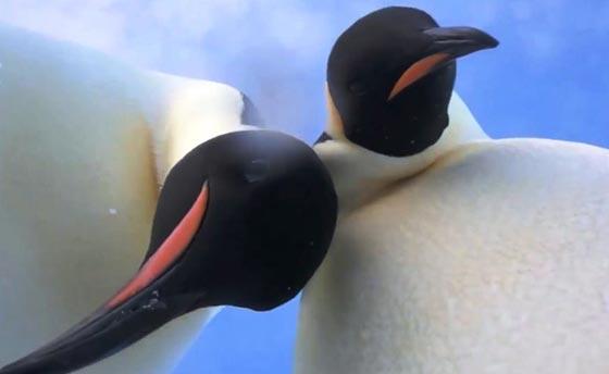 فيديو طريف:  سيلفي ظريف لبطريقان في القارة القطبية الجنوبية صورة رقم 1