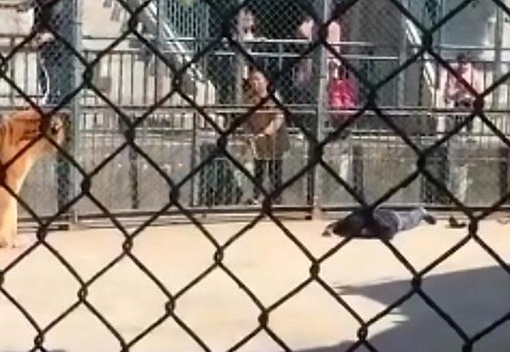 فيديو..نمر ينقض على صاحبه في حديقة حيوانات بالصين صورة رقم 2