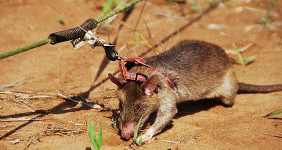 صورة رقم 4 - تدريب فئران للكشف عن الألغام الأرضية