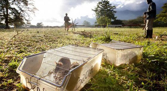 صورة رقم 6 - تدريب فئران للكشف عن الألغام الأرضية