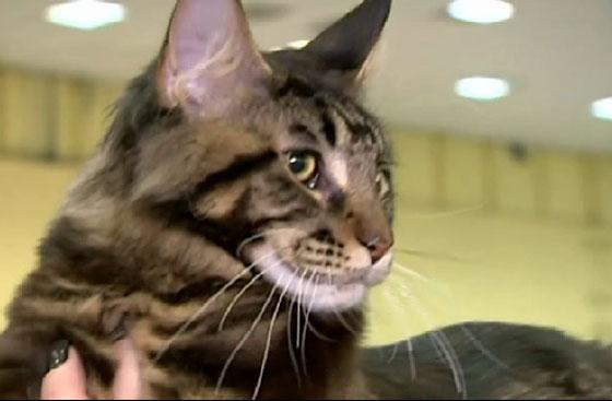 بالفيديو.. معرض لأجمل قطط العالم في بوخارست  صورة رقم 1