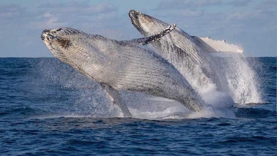 فيديو مدهش لحوتين يقفزان بتناسق رائع في البحر صورة رقم 1