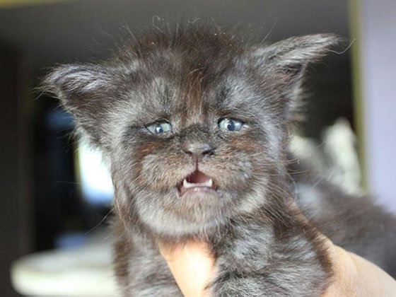 صور وفيديو بدون فوتوشوب! قط ذو ملامح بشرية يثير الرعب! صورة رقم 2
