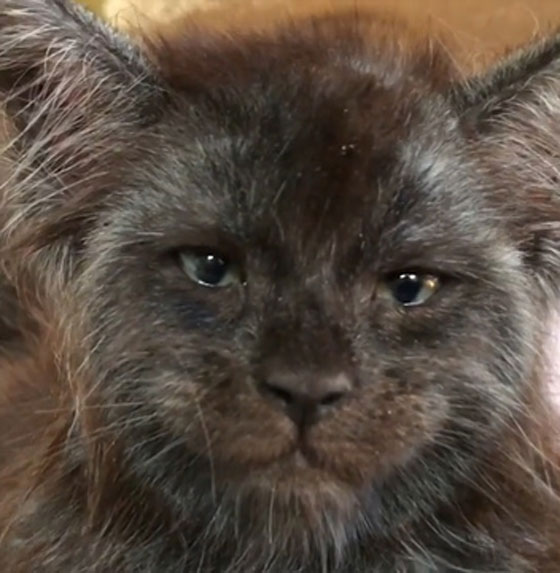 صور وفيديو بدون فوتوشوب! قط ذو ملامح بشرية يثير الرعب! صورة رقم 3