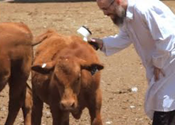 صور وفيديو.. ولادة بقرة يوم القيامة في إسرائيل صورة رقم 6