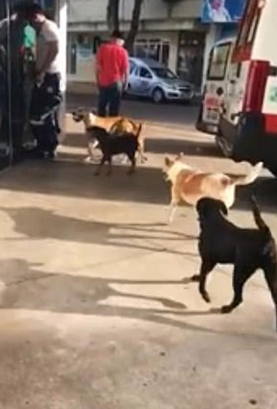 كلاب وفية طاردت سيارة إسعاف حملت صاحبها وبقيت أمام المستشفى تنتظره! صورة رقم 5