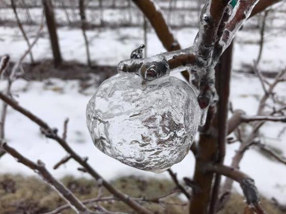 تفاح الجن.. ظاهرة غريبة للتفاح الجليدي الشفاف تثير جدلا في أمريكا صورة رقم 4