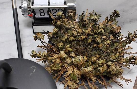 بالفيديو والصور: لقطات رائعة لـ(نبات القيامة) يعود من بين الأموات! صورة رقم 5