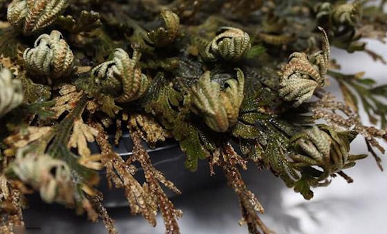 بالفيديو والصور: لقطات رائعة لـ(نبات القيامة) يعود من بين الأموات! صورة رقم 6