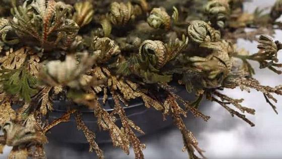 بالفيديو والصور: لقطات رائعة لـ(نبات القيامة) يعود من بين الأموات! صورة رقم 7