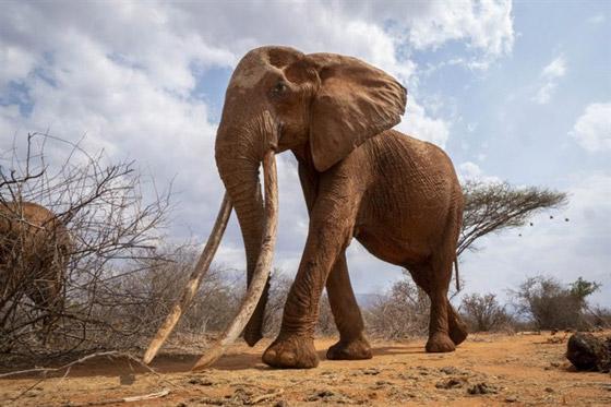 بالفيديو والصور: لقطات نادرة لفيل يمتلك أطول أنياب على الأرض! صورة رقم 4