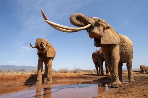 بالفيديو والصور: لقطات نادرة لفيل يمتلك أطول أنياب على الأرض! صورة رقم 5