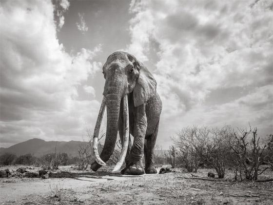 بالفيديو والصور: لقطات نادرة لفيل يمتلك أطول أنياب على الأرض! صورة رقم 6