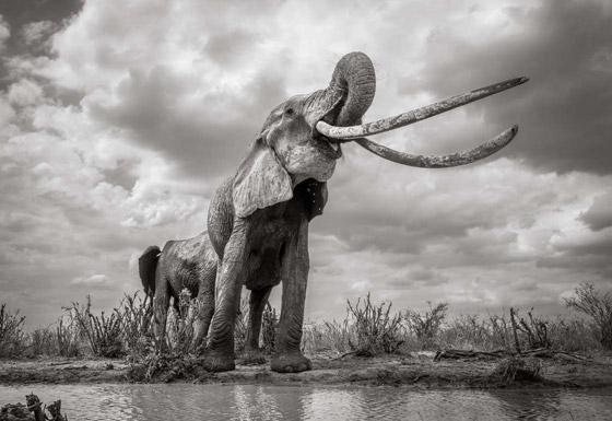بالفيديو والصور: لقطات نادرة لفيل يمتلك أطول أنياب على الأرض! صورة رقم 7