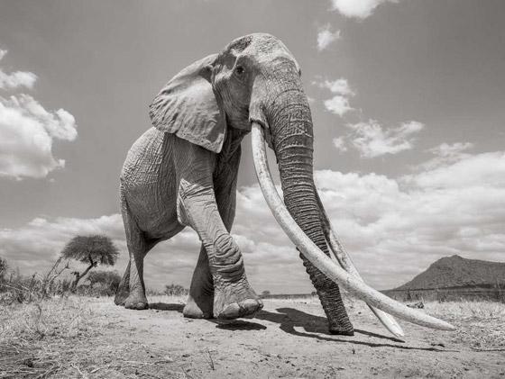 بالفيديو والصور: لقطات نادرة لفيل يمتلك أطول أنياب على الأرض! صورة رقم 8