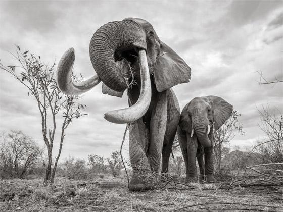 بالفيديو والصور: لقطات نادرة لفيل يمتلك أطول أنياب على الأرض! صورة رقم 9