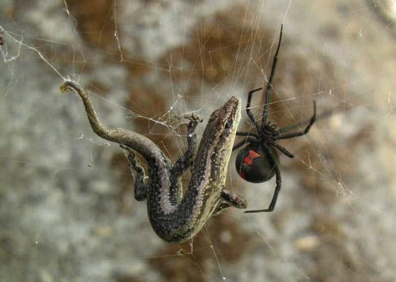 بالصور: تعرفوا على أكثر العناكب السامة فتكاً بالإنسان  صورة رقم 1