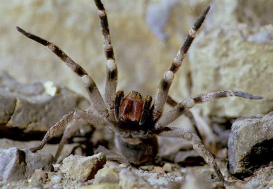 بالصور: تعرفوا على أكثر العناكب السامة فتكاً بالإنسان  صورة رقم 2