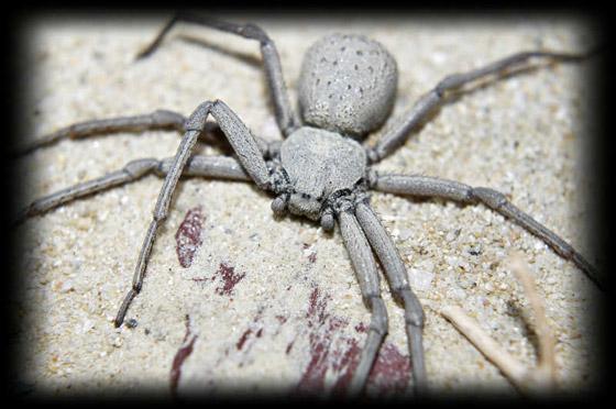 بالصور: تعرفوا على أكثر العناكب السامة فتكاً بالإنسان  صورة رقم 6