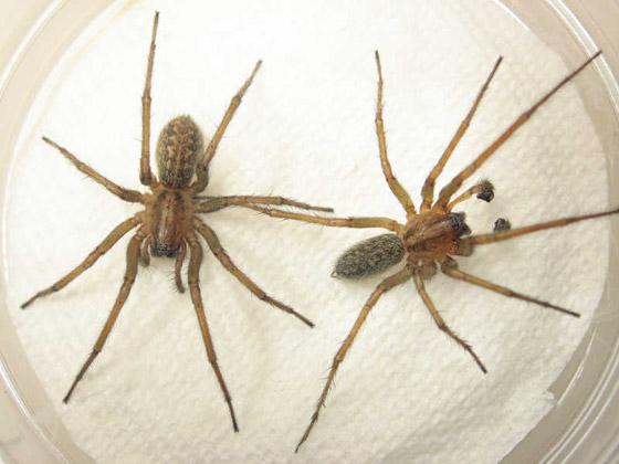 بالصور: تعرفوا على أكثر العناكب السامة فتكاً بالإنسان  صورة رقم 8