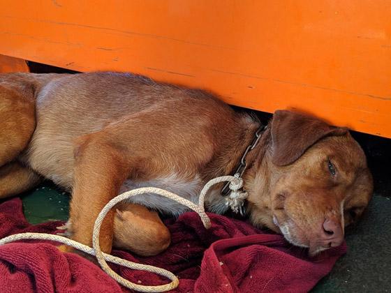إنقاذ كلب تمكن من السباحة مسافة تزيد على 220 كم في البحر! صورة رقم 14