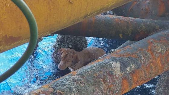 إنقاذ كلب تمكن من السباحة مسافة تزيد على 220 كم في البحر! صورة رقم 1