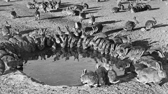 رجل تلاعب بالنظام البيئي لأستراليا فتسبب بإبادة الأرانب من البلاد! صورة رقم 2