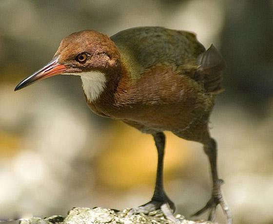 طائر غريب منقرض يعود بعد آلاف السنين من انقراضه! صور صورة رقم 3