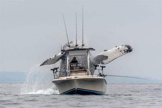 صور وفيديو مذهل: حوت احدب يفاجئ صيادين بقفزة غير متوقعة صورة رقم 1