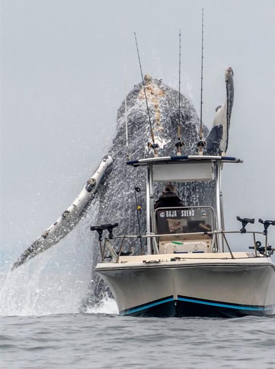 صور وفيديو مذهل: حوت احدب يفاجئ صيادين بقفزة غير متوقعة صورة رقم 4