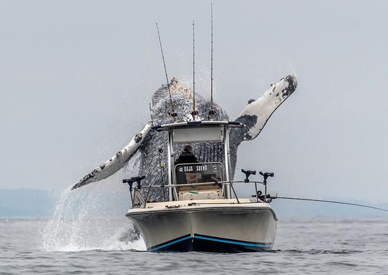 صور وفيديو مذهل: حوت احدب يفاجئ صيادين بقفزة غير متوقعة صورة رقم 5