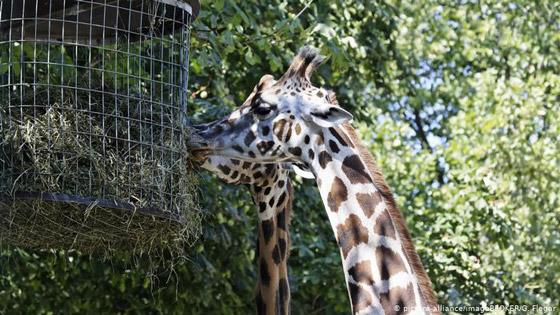 بالصور: حيوانات نادرة وغريبة في الحدائق الأوروبية صورة رقم 6