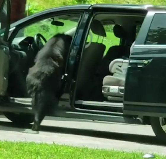 فيديو: دبّ يسرق سيارة، يقودها ويرتكب بها حادثاً ويهرب بعد تحطيمها! صورة رقم 4