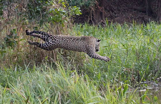 فيديو مذهل.. نمر يصطاد تمساحا بقفزة غير متوقعة! صورة رقم 4