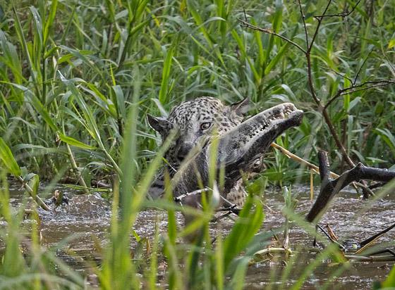 فيديو مذهل.. نمر يصطاد تمساحا بقفزة غير متوقعة! صورة رقم 9