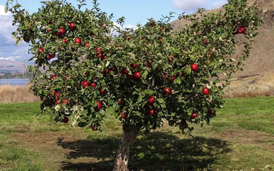 نوع جديد من التفاح يمكن تخزينه في الثلاجة لمدة عام كامل صورة رقم 3