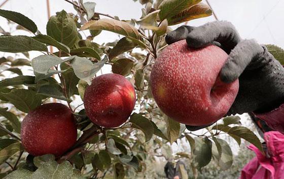 نوع جديد من التفاح يمكن تخزينه في الثلاجة لمدة عام كامل صورة رقم 4