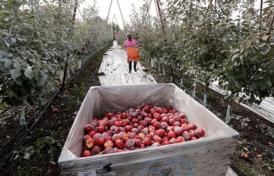 نوع جديد من التفاح يمكن تخزينه في الثلاجة لمدة عام كامل صورة رقم 5