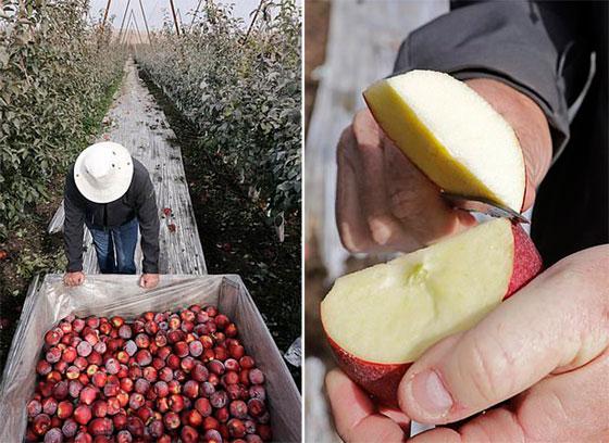نوع جديد من التفاح يمكن تخزينه في الثلاجة لمدة عام كامل صورة رقم 6