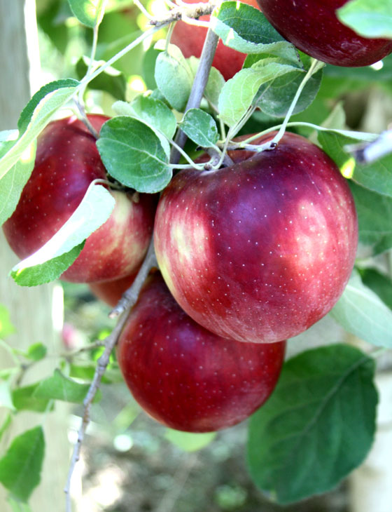نوع جديد من التفاح يمكن تخزينه في الثلاجة لمدة عام كامل صورة رقم 8